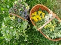 divoké byliny sběr