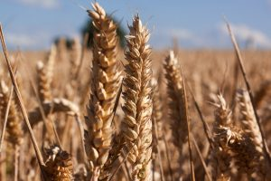 ear-cereals-infructescence-staple-food-162769